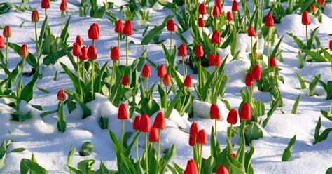 fiori invernali foto fiori invernali 7 magnifiche piante resistono al freddo