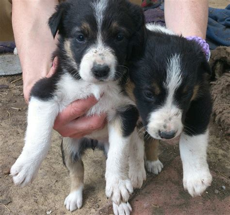 border collie puppies for sale border collie puppies for sale lancashire