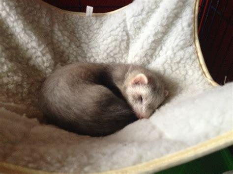 ferret bed ferret beds 28 images ferret bedding snuggle beds