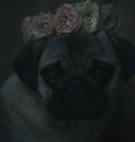 pugs and roses pug n roses fiona the pug