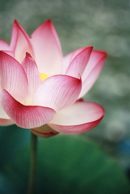 What Does A Lotus Flower Symbolism Lotus Flower Inkspiration