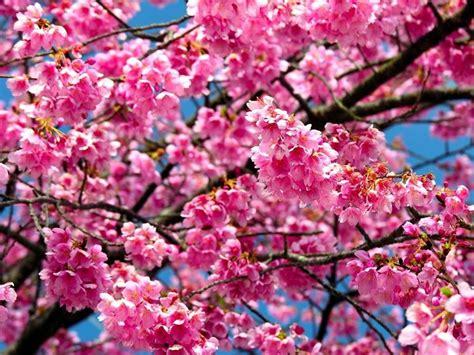 fiori ciliegio significato ciliegio linguaggio dei fiori ciliegio linguaggio