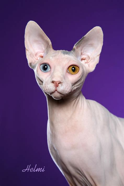 tattooed hairless cat sphynx cat tattoos designs and symbols