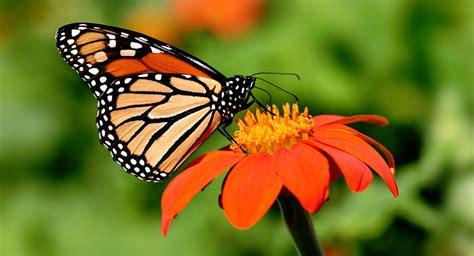 imagenes de mariposas monarcas 10 cosas que debes saber de la mariposa monarca