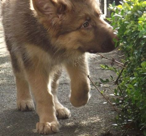 liver colored 24 best images about liver colored shepherds on
