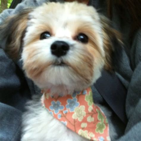 most popular haircut for morkie dogs darla my morkie funny pinterest morkie puppies