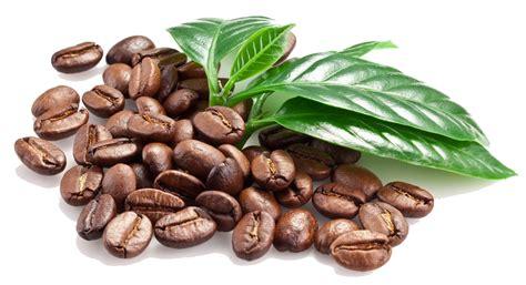 Cocoa Coffee cocoa bean clipart coffee plant pencil and in color