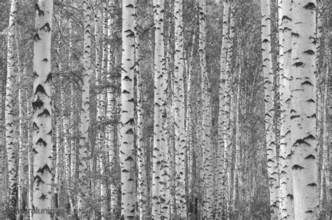 black and white tree wallpaper for walls birch tree forest black and white buy prepasted