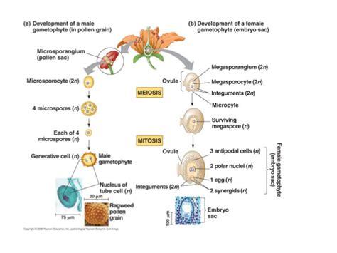 flowchart of pollination fertilization and seed development bio 130 microsporogenesis gametogenesis 2013