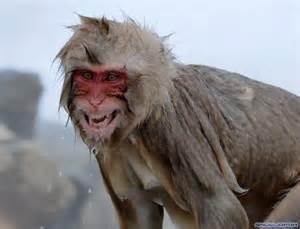Monkey In Bathtub The Snow Monkeys Of Jigokudani Japanese Macaque Monkeys