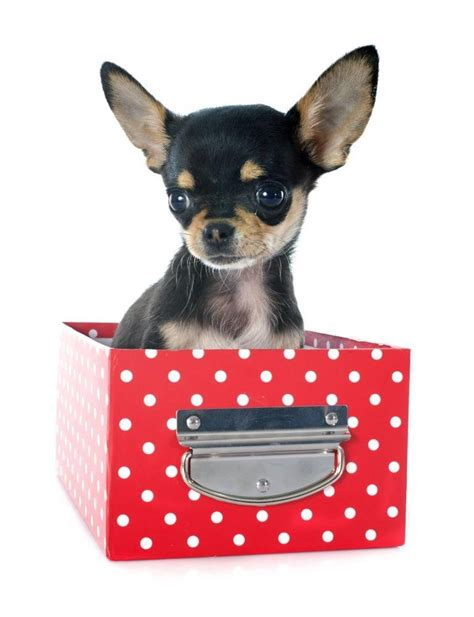 chihuahua puppies for free chihuahua puppies for free adoption breeds picture