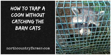how to a coon how to trap a coon without catching the barn cats country farmer