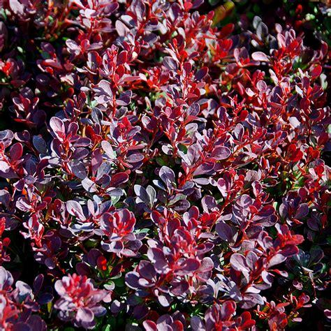 berberis thunbergii royal burgundy