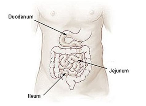 first section of small intestine wikijunior human body digestive system small intestine