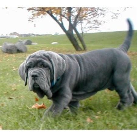 mastiff puppies mn runestone neapolitan mastiffs neapolitan mastiff breeder in dundas minnesota