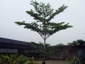 Bibit Pohon Ketapang Kencana ketapang kencana jual bibit pohon tanaman