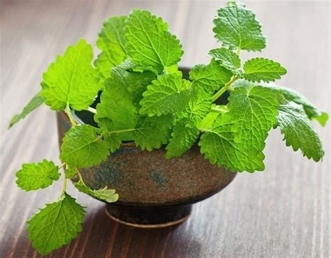 Jual Pupuk Hidroponik Makassar jual tanaman peppermint bibit