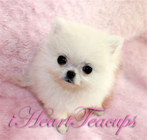 tiniest tiny micro teacup pomeranian puppy micro mini teacup puppy archives iheartteacups