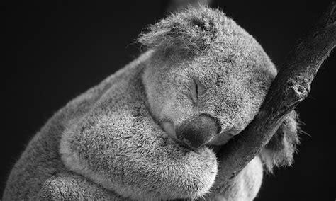 imagenes bellas de koalas la riqueza de la fauna australiana