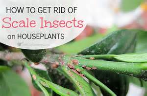 houseplant scale how to get rid of scale on houseplants
