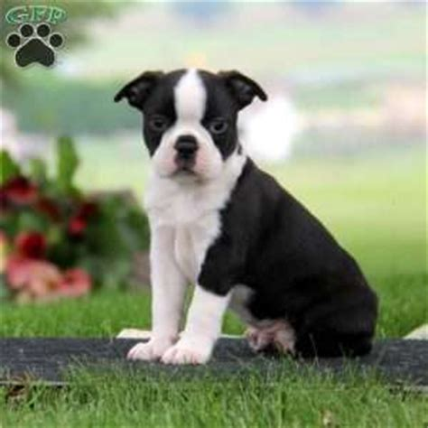 boston terrier puppies pa boston terrier puppies for sale in pa