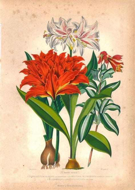 botanical drawing in color 0823007065 1876 antique color lithography botanical print bolbous plants flowers printing flowers and