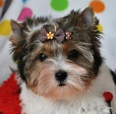 yorkie puppies for sale in edmonton biewer yorkie puppies in edmonton ab dogs yorkie puppy yorkies and