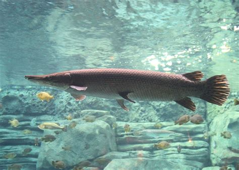 Alligator gar - Wikipedia