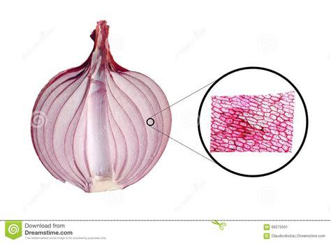 Beschriftung Zwiebelzelle by Zwiebel Epidermus Mikrograph Stockfoto Bild 68275501