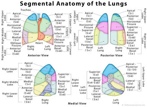 Lungs Definition Location Anatomy Function Diagram   lung lobes diagram www pixshark com images galleries