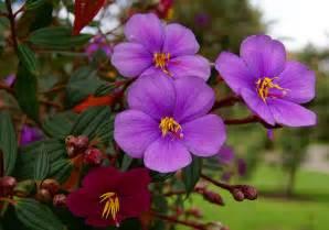 photos of colombia flowers tibouchina lepidota