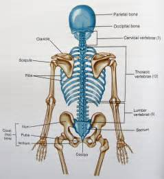 axial skeleton google search musculoskeletal anatamy