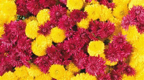 sfondi di fiori sfondo quot esplosione di fiori quot 1920 x 1080 natura fiori