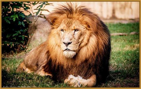 imagenes de leones viejos imagenes para fondo de pantalla de leones muy llamativos