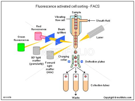 facs diagram fluorescence activated cell sorting facs illustrations