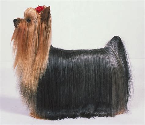 pics of long hair dark browm terriers knowing what an ideal yorkshire terrier looks like dummies
