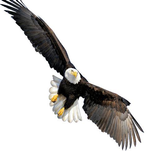 Aquila Tribal Set bald eagle transparent png png mart