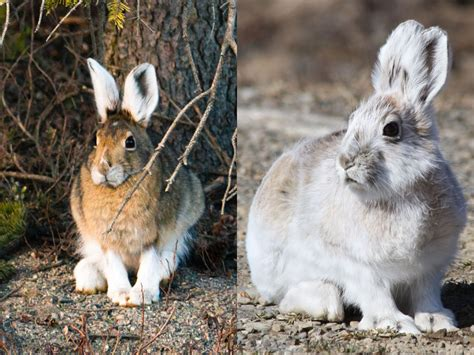 ermine color 7 animals that turn white in winter britannica