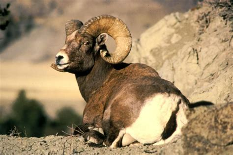 new year animal ram new year in 2015 is it the year of the goat
