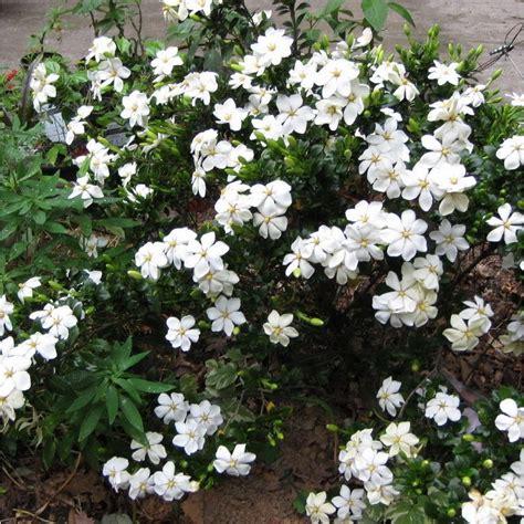 Gardenia Hardiness Gardenia Jasminoides Kleim S Hardy In 9cm Pot Images Frompo