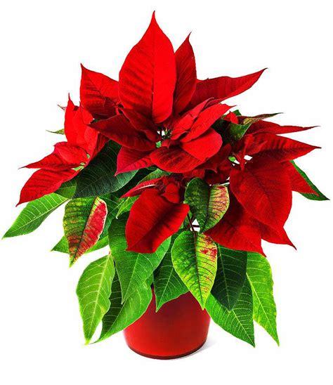 Weihnachtsstern Pflegen by Weihnachtsstern Pflanze Pflege Weihnachtsstern Mit