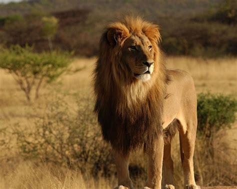 imagenes de aguilas y leones le 243 n salvaje 1280x1024 fondos de pantalla y wallpapers