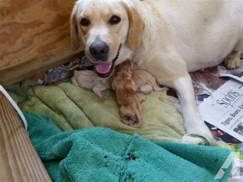 akc yellow lab puppies for sale akc yellow lab puppies for sale for sale in pigeon forge tennessee classified