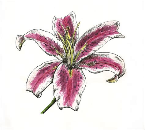 stargazer lily tattoo designs stargazer by caitlyn1701 on deviantart
