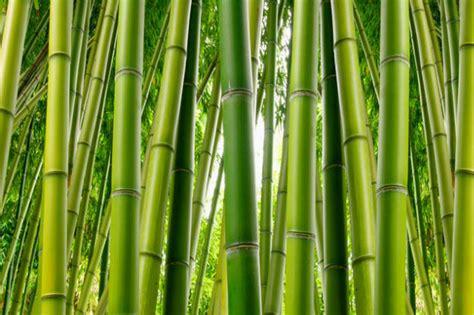 bamboo wall mural bamboo wall mural c866 by environmental graphics