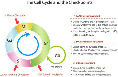 section 5 3 regulation of the cell cycle cell division and the cell cycle ck 12 foundation