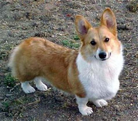 how much is a corgi puppy usa puppy pictures