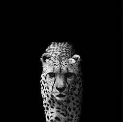 imagenes de jaguar blanco 2photo animal animals black black and white black