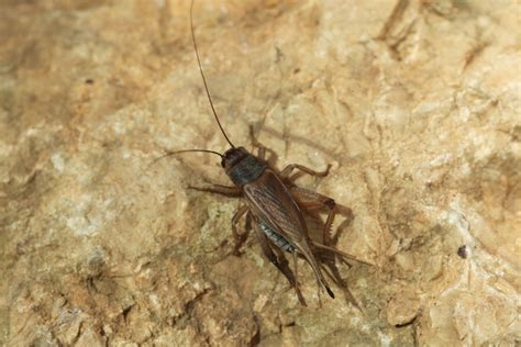 black crickets in house what is that identifying strange pests part 2 plunkett s pest control