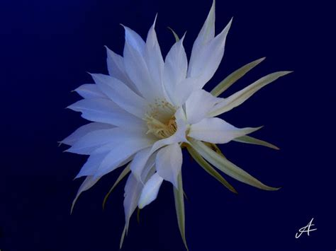 fiore di notte lavostraarte di carla colombo foto paesaggi e fiori
